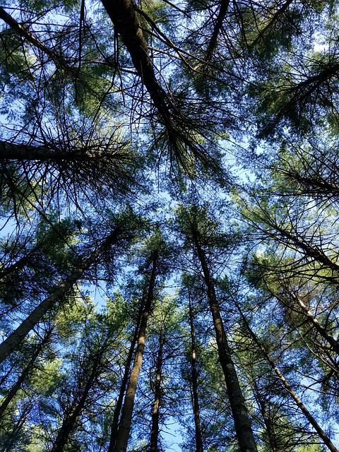 Wood, Tree, Nature, Pine, Conifer, Forest, Scenic