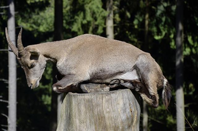 Capricorn, Sleep, Tree Stump, Forest, Animal, Female