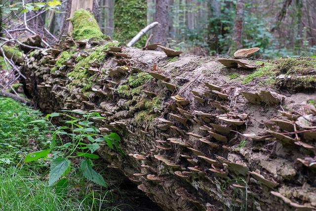 Hub, Trunk, Tree, Wood Hub, Forest, Białowieża
