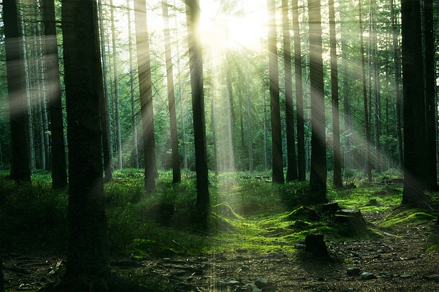 Forest, Sunlight, Trees