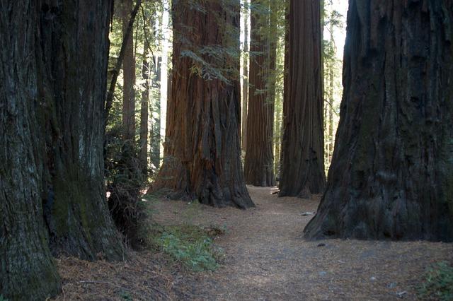 California, Giant Redwoods, Tree, Forest, Trunks