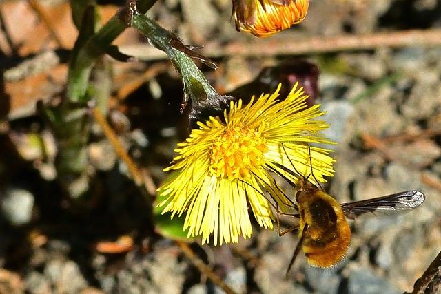 Nature, Bombyliidae, Tussilago Farfara, Forest