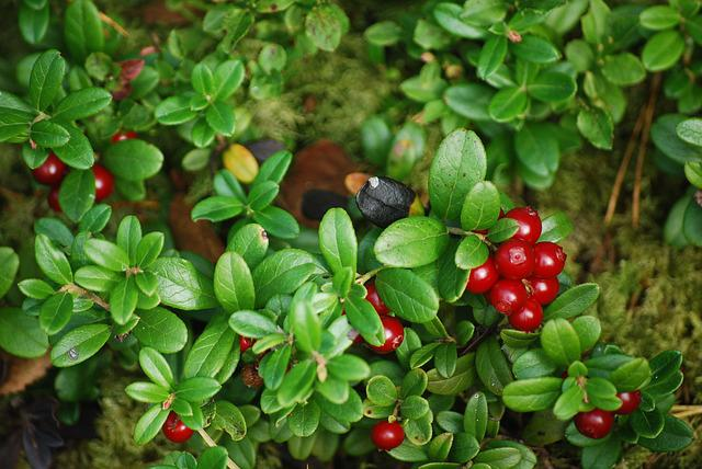 Cowberry, Forest, Plant, Nature, Twig