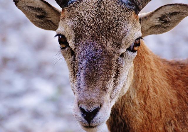 Aries, Wild, Free Running, Wildlife Park, Forest