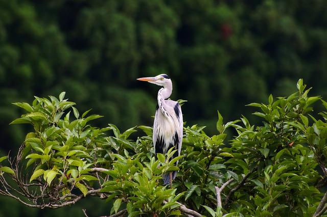 Animal, Forest, Wood, Green, Wild Birds, Heron