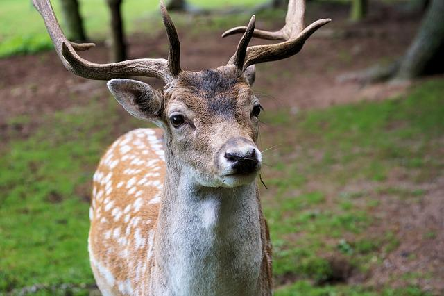 Hirsch, Antler, Red Deer, Animal, Wild, Forest, Nature