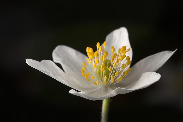 Wood Anemone, Forest, Spring, Blossom, Bloom, White