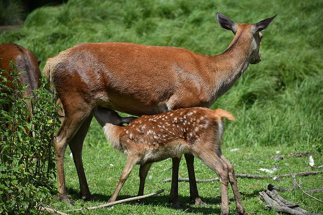 Roe Deer, Kitz, Young, Dam, Suckle, Drink, Wild, Forest