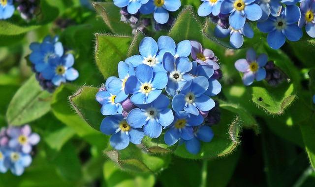 Nature, Flower, Forget, Plant, Leaf, Garden