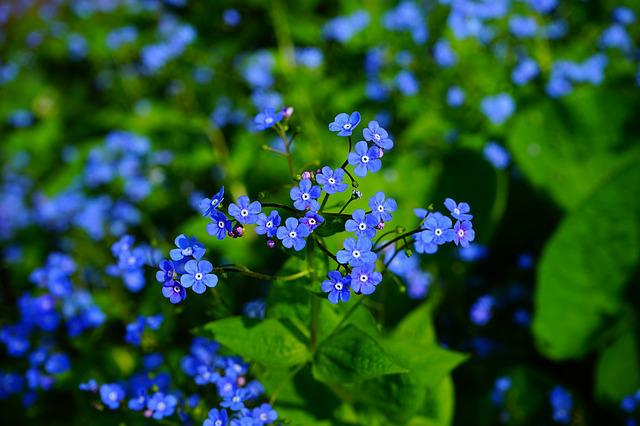 Forget Me Not, Brunnera Vergissmeinnicht