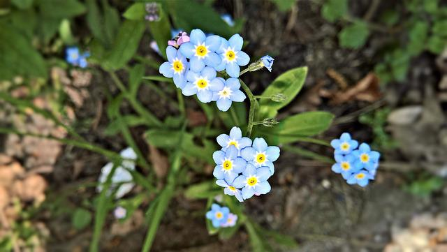 Flowers, Forget Me Not, Spring Flowers