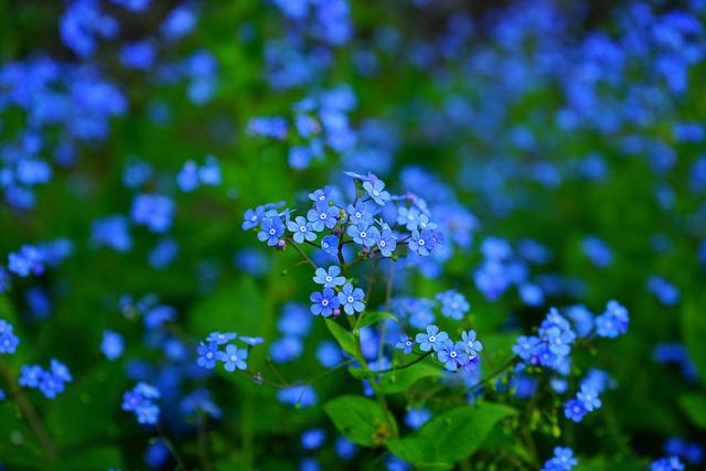 Forget-me-nots, Flowers, Blue Flowers, Petals
