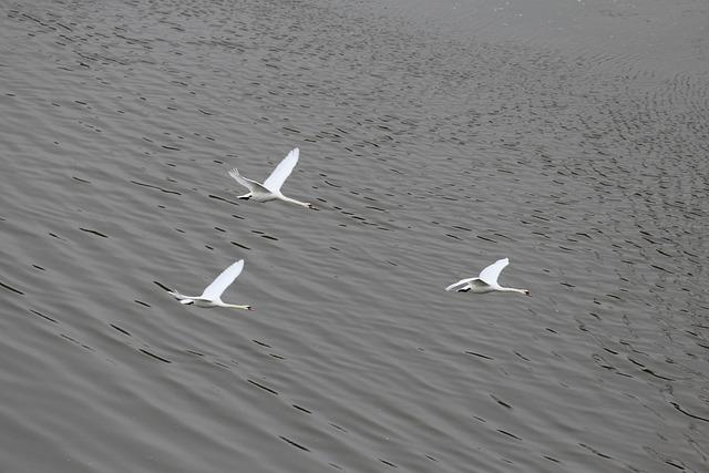 Swans, Formation Flight, Swan, Animal, Animals