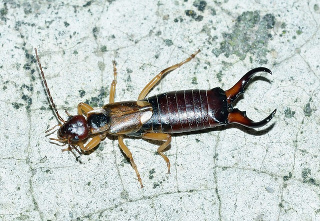 Earwig, Insects, Forticula, Auriculata