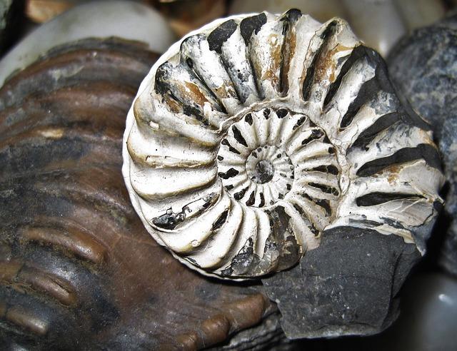 Fossil Nautilus, Fossil, Petrification, Stone