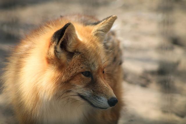 Fox, Red Fox, Tűzróka, Wild, Animal, Beast, Portrait