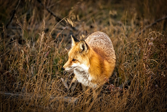 Colorado, Fox, Animal, Wildlife, Cute, Macro, Closeup