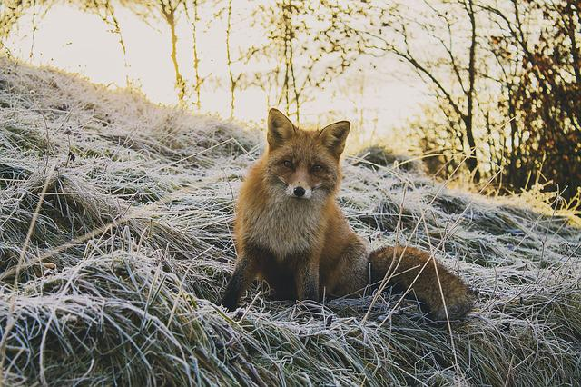 Animal, Forest, Fox, Nature, Wildlife