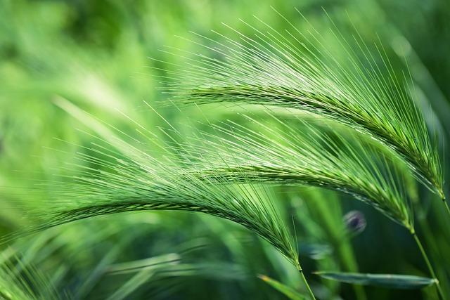 Plant, Grass, Spring, Foxtail Barley, Green Field