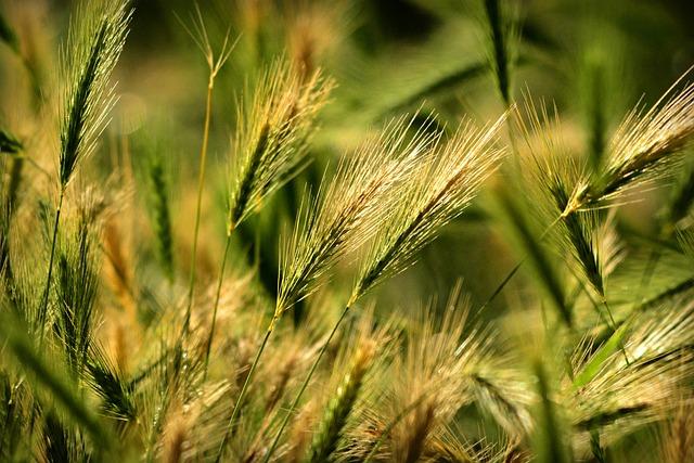 Foxtail Barley, Grass, Plant, Vegetation, Weed, Wild