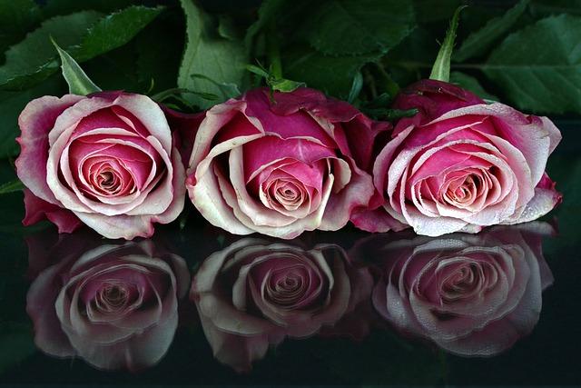 Roses, Flowers, Rose Flower, Romantic, Love, Fragrance