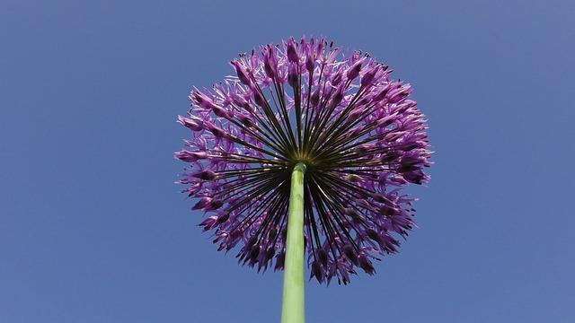 Flower Bulb, Fragrance-allium Perennial Millenium