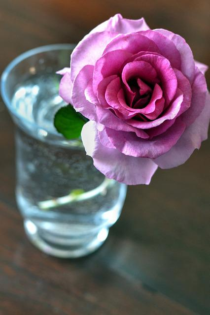 Pink Rose, Fragrant, Flower Pot, Spring