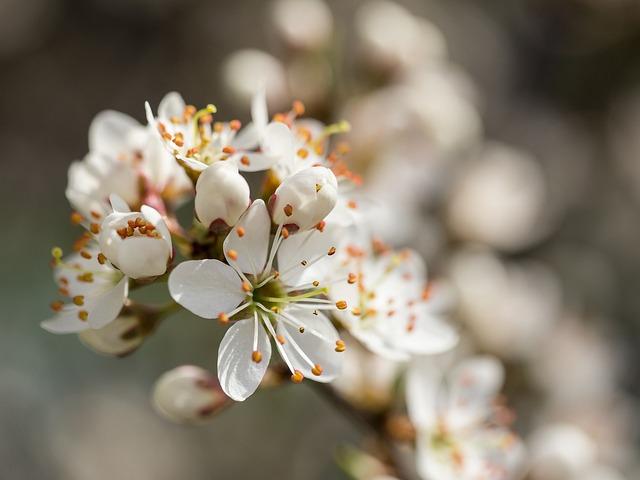 Blackthorn, Schlehe, Flowers, White, Tender, Fragrant