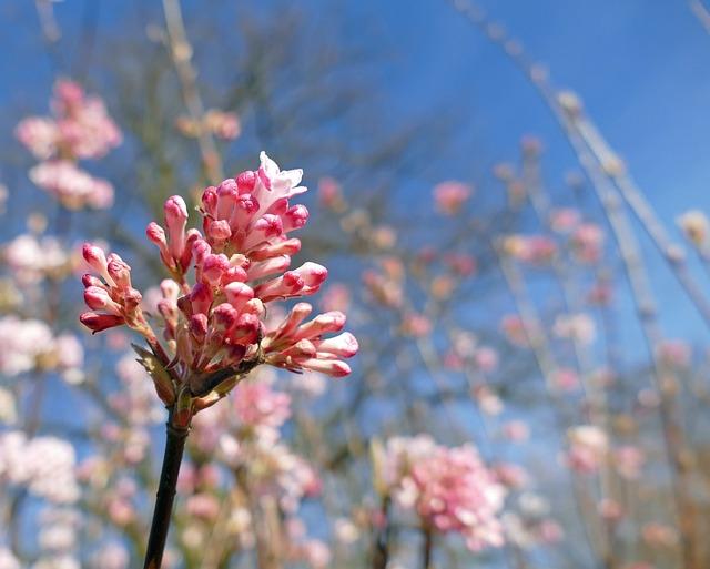 Fragrant Winter Snowball, Caprifoliaceae, Flower