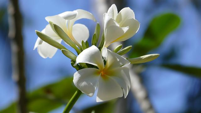 Frangipani, Flowers, Temple Tree, Exotic, Flower