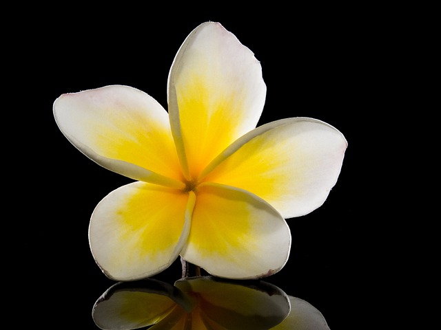 Blossom, Bloom, Flower, White, Yellow, Frangipani