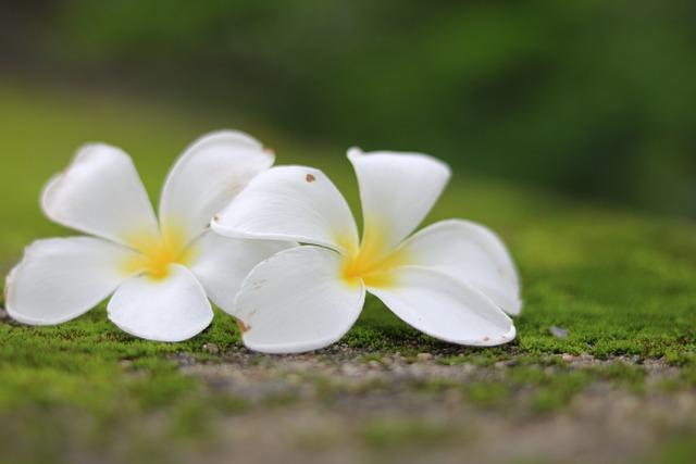 Flowers, Frangipani, Nature