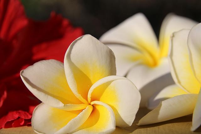 Plumeria, Frangipani, Flower, White Flower, Petal