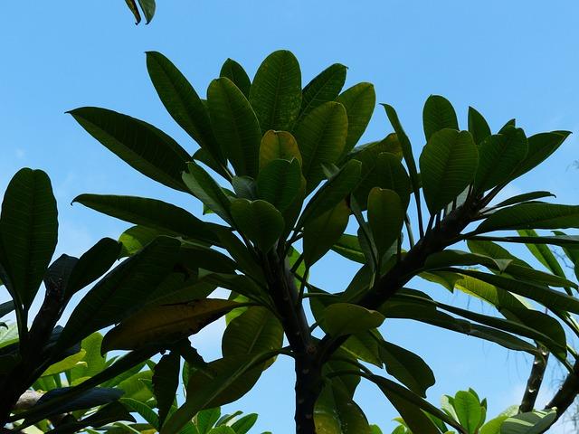 Leaves, Tree, Green, Frangipani, Plumeria, Frangipandi
