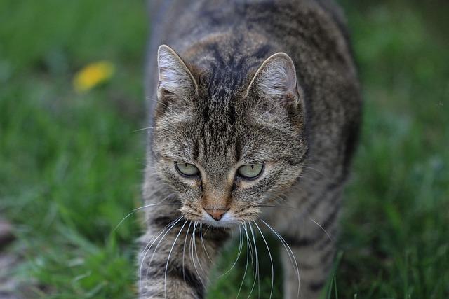 Tabby Cat, Free Recording, Pet, Pretty, Beautiful