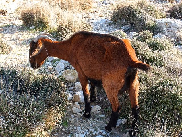 Goat, Mediterranean, Corsica, Rocky Coast, Free Running
