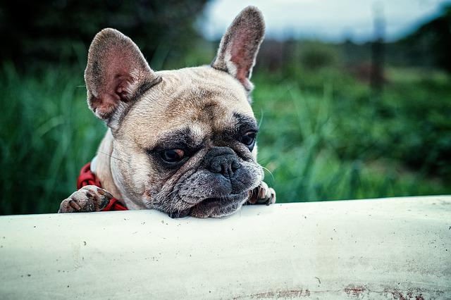 French Bulldog, Nature, Dacha, Bath, Closeup, Dog