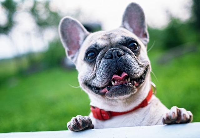 French Bulldog, Summer, Smile, Joy, Nature, Happiness