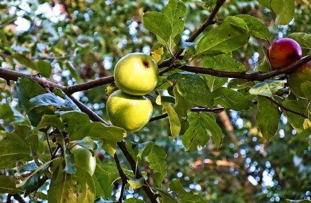 Apple, Apple Tree, Fruit, Food, Nutrition, Fresh
