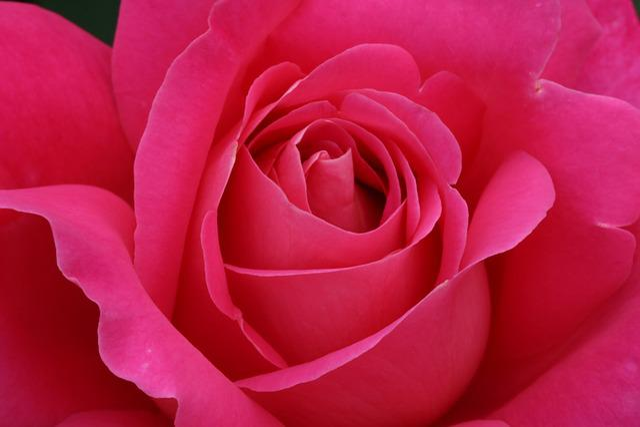 Rose, Rose Festival, Park, Fresh Medium, Flowers