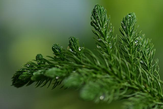 Fir, Spruce, Coniferous, Pine Leaf, Fresh, Wet Nature