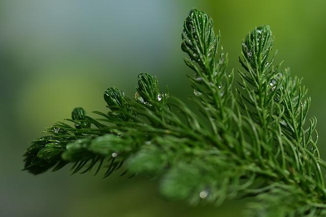 Fir, Spruce, Coniferous, Pine Leaf, Fresh, Wet Nature