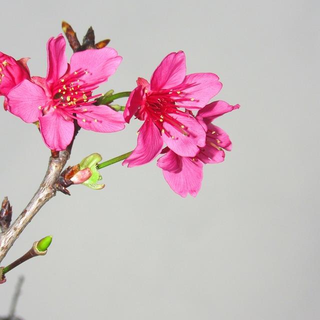 Red Poppy, Spring, Fresh