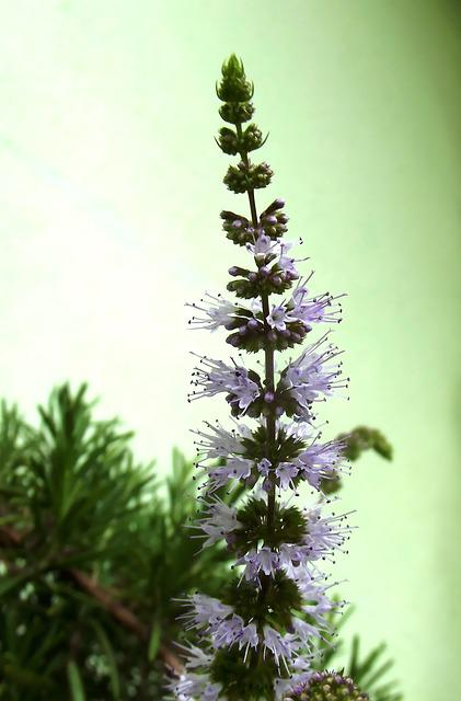Peppermint Flowers, Flower, Rosemary, Nature, Fresh
