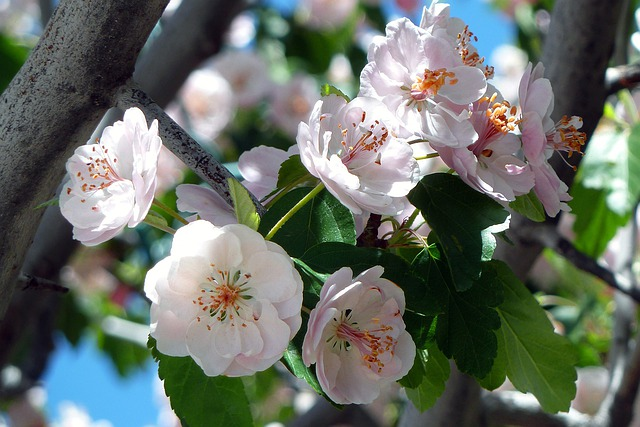 Cherry, Blossom, Flowers, Fresh, Floral, Summer