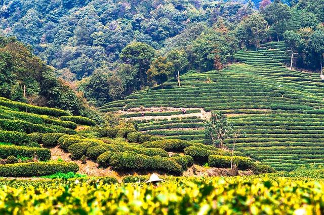 Tea, Farm, China, Freshness, Highland, Leaf, Green