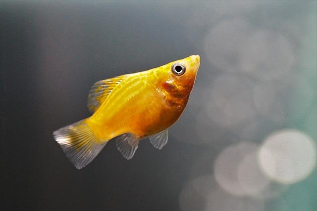 Fishy, Aquarium, Freshwater, Balloon, Molly, Gold