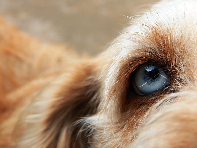 Dog, Friend, Eye, Blue Eye, Nice Eyes, Hairy, Animal