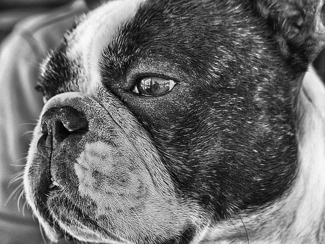 French Bulldog, Dog, Pet, Tender, Look, Friend