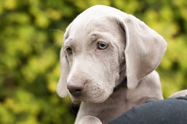 Dog, Animal, Friend, Pointer, Quadruped, Puppy